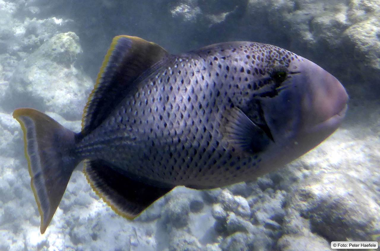 Gelbsaum-Drückerfisch, Yellowmargin triggerfish, Royal Island, Maldives