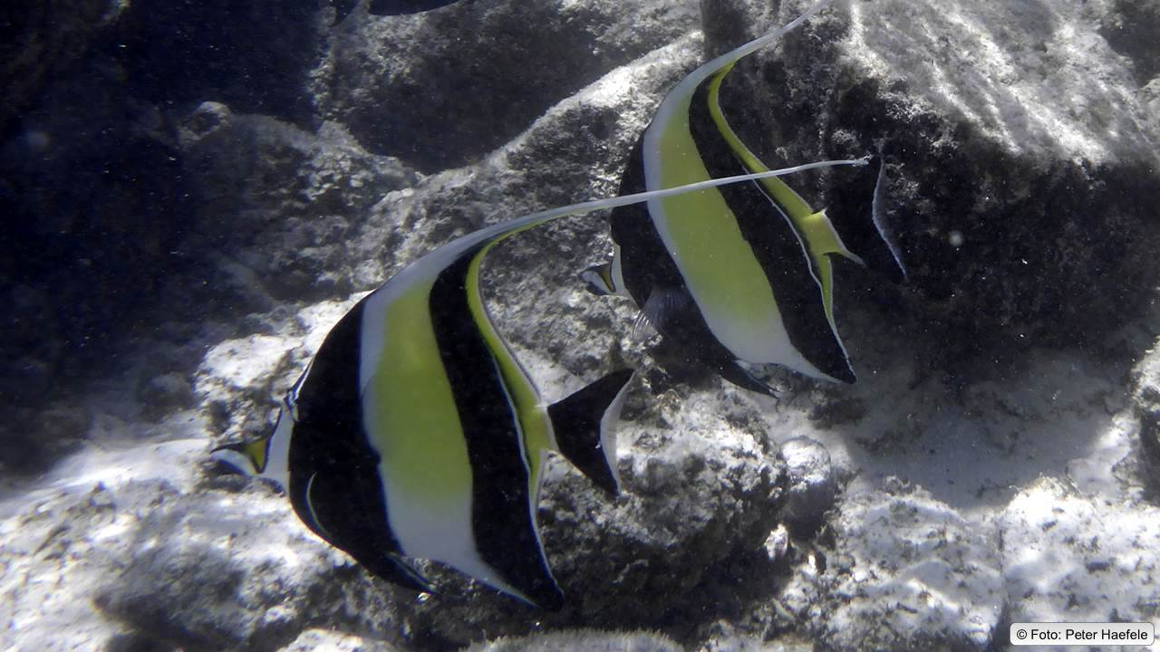 Halfterfisch, Moorish idol, Royal angelfish, Royal Island, Maldives