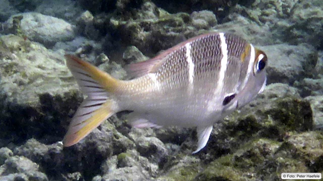 Großkopfschnapper, Bigeye Bream, , Royal Island, Maldives